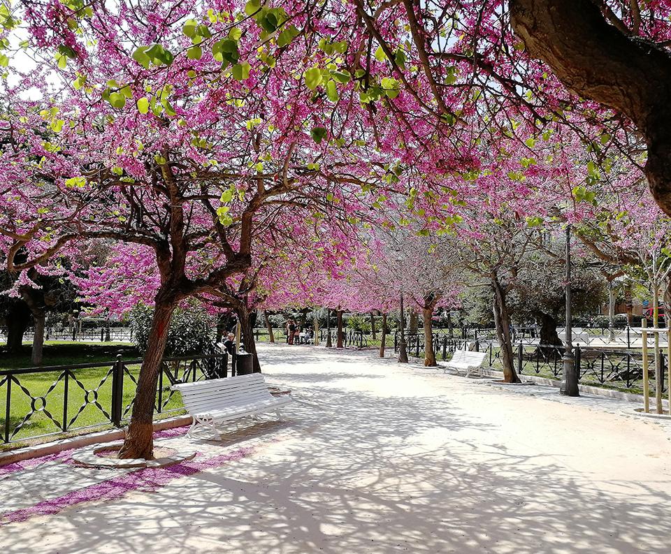 Preciosa imagen de la plaza de España de Cádiz con sus arboles rosados