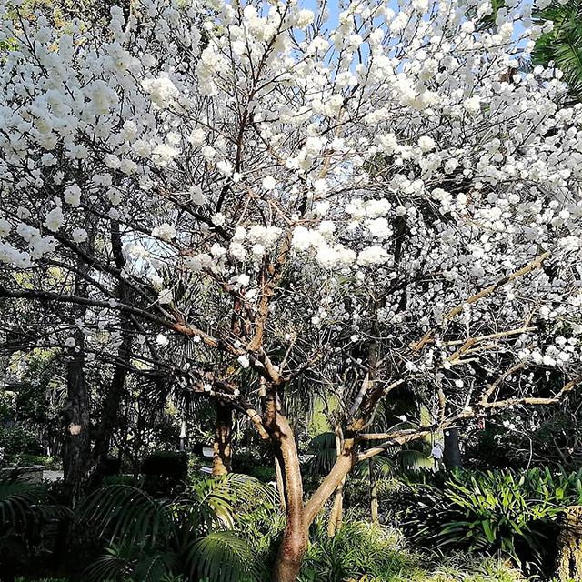 Arbol en flor Parque Genoves